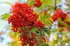 Red rowan berries Royalty Free Stock Images