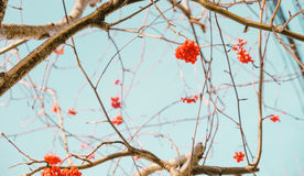 Red rowan berries and branches. With blue sky Royalty Free Stock Photo
