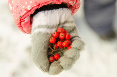 Red rowan berries in child's hand Royalty Free Stock Images