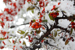 Red Rowan Berries Covered With Fresh Snow. Stock Photos
