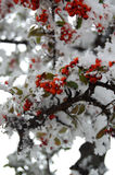Red Rowan Berries Covered With Fresh Snow. Royalty Free Stock Image