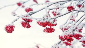 Red rowan berries covered with hoarfrost Stock Images