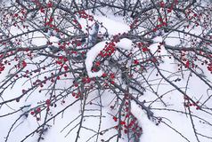 Red rowan berries frozen by the snow Royalty Free Stock Image