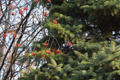 Red rowan berries and green needles of fir tree. Nature in autumn.  stock photo