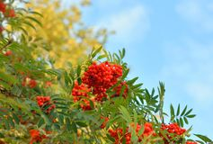 Red rowan berries on tree. Stock Photo