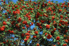 Red Rowan berries growing on a tree Stock Photography