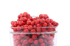 Red rowan berries Royalty Free Stock Photography