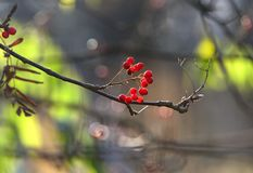 Red rowan berries in a late October morning light Royalty Free Stock Photography