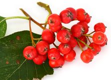 Red rowan berries and leaves Stock Photos