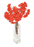 Red rowan berries or mountain ash. Red rowan berries, also known as mountain ash, arranged in a glass vase as a decorative item stock photo