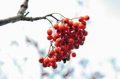 Red Rowan berries or Mountain ash in winter on white background. Beautiful Red Rowan berries or Mountain ash in winter on white background Stock Photos