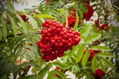 Red rowan berries. On tree with green leaves Stock Images