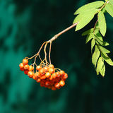 Red rowan berries ripe Stock Photos