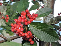 Red rowan berries Royalty Free Stock Photo