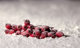 Red Rowan berries in the snow.  stock photography