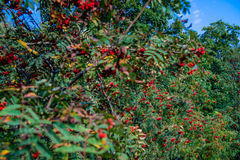Red rowan berries on a tree, blue sky Royalty Free Stock Photos