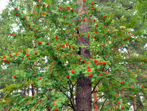 Red rowan berries on tree. Royalty Free Stock Image