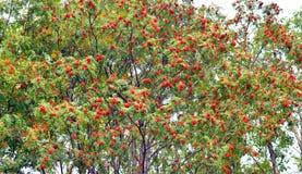 Red rowan berries on tree. Royalty Free Stock Photos