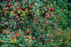 Red rowan berries on a tree Royalty Free Stock Images
