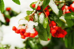 Red rowan berries under snow Stock Photography