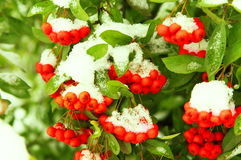 Red rowan berries under snow Stock Image