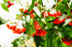 Red rowan berries under snow Stock Images