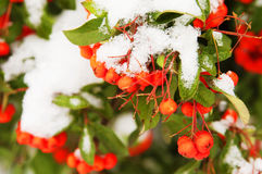 Red rowan berries under snow Royalty Free Stock Photos
