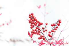 Red Rowan Berries. With white background Royalty Free Stock Photography