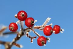 Red Rowan Berries in Winter Frost against Blue Sky Stock Image