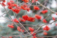 Red rowan berries. On withered branch at autumnal cloudy weather. Beautiful nature close up. Useful as background Royalty Free Stock Image