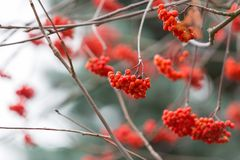 Red rowan berries. On withered branch at autumnal cloudy weather. Beautiful nature close up. Useful as background Royalty Free Stock Photos