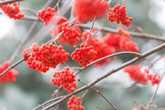 Red rowan berries. On withered branch at autumnal cloudy weather. Beautiful nature close up. Useful as background Stock Photos