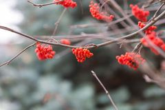 Red rowan berries. On withered branch at autumnal cloudy weather. Beautiful nature close up. Useful as background Stock Photo
