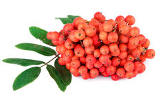 Red rowan berry with leaves on white Royalty Free Stock Photos