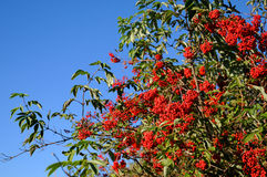 Red Rowan. The blue sky and red berries. Seasons, Gardens and parks Stock Images