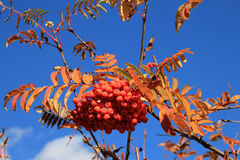 Red Rowan Royalty Free Stock Images