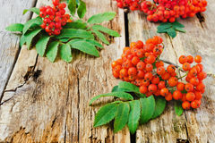 Red rowan Stock Image