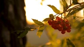 Red rowan bunch at sunset against the sky backlight. Red rowan bunch at sunset against the sky backlit in sun rays stock video footage