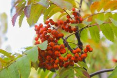 Red rowan. Bunche of ripe red mountain ash on a branch Royalty Free Stock Images