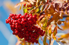 Red rowan bunches Stock Image