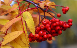 Red Rowan in the fall. Big red Rowan berries autumn time in Russia Royalty Free Stock Photography