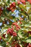 Red rowan. Red fruit on the tree rowan stock photos