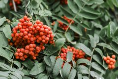 Red rowan in green leaves stock images