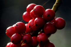 Red Rowan Stock Photography