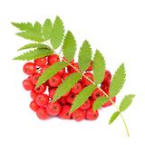 Red Rowan (Mountain-Ash) Berries with Leaves Isolated on White Background. A cluster of red rowans with green leaves isolated on a white background Stock Photo