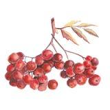 Red rowan stock photo
