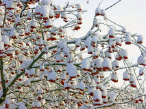 Red Rowan in the snow Royalty Free Stock Image