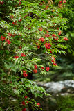 Red Rowan tree berries on branches Royalty Free Stock Photos
