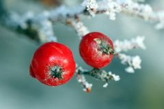 Red Rowan Tree Berries covered with frost. Red berries covered with ice and frost, suitable for holiday season images Stock Photo