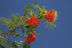 Red rowan tree in the end of summer Stock Photos